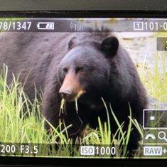 Bears in Ketchikan