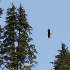 Eagle viewing on the walk back from Hoonah