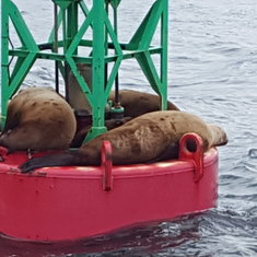 Sea lions on the buoy