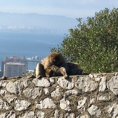 The Apes of Gibraltar