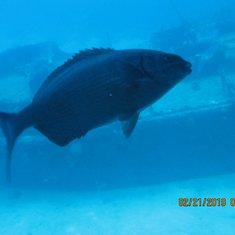 Bermuda Chub outside Atlantis sub